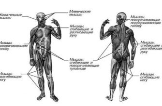 реферат - Двигательные системы организма.