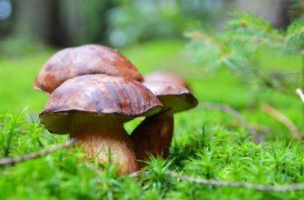 Лучшие съедобные грибы и 3 вида ядовитых