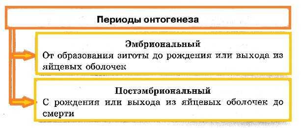 """Конспект """"Онтогенез (индивидуальное развитие)"""" - УчительPRO"""