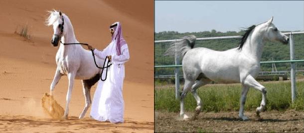 Реферат: Породы лошадей