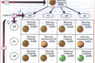 Урок 14. дигибридное скрещивание. третий закон менделя -  Биология -  10 класс -  Российская электронная школа