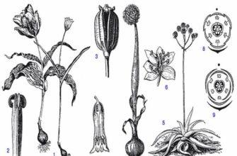 Вегетативное размножение покрытосеменных растений: таблица, особенности и классификация
